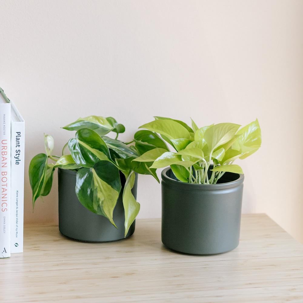 Cuidados del Neon Pothos y el Philodendron Brazil, Petra y Grace