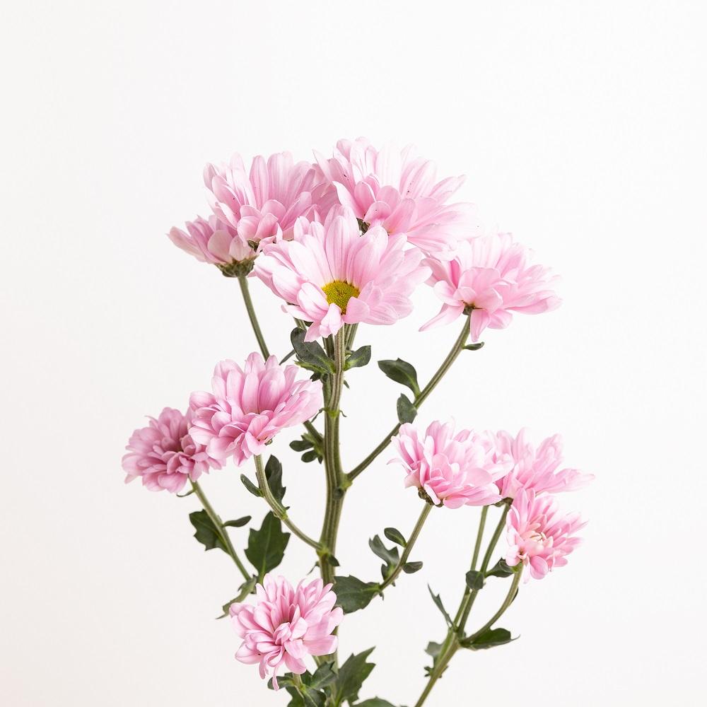 curiosidades de los crisantemos rosas