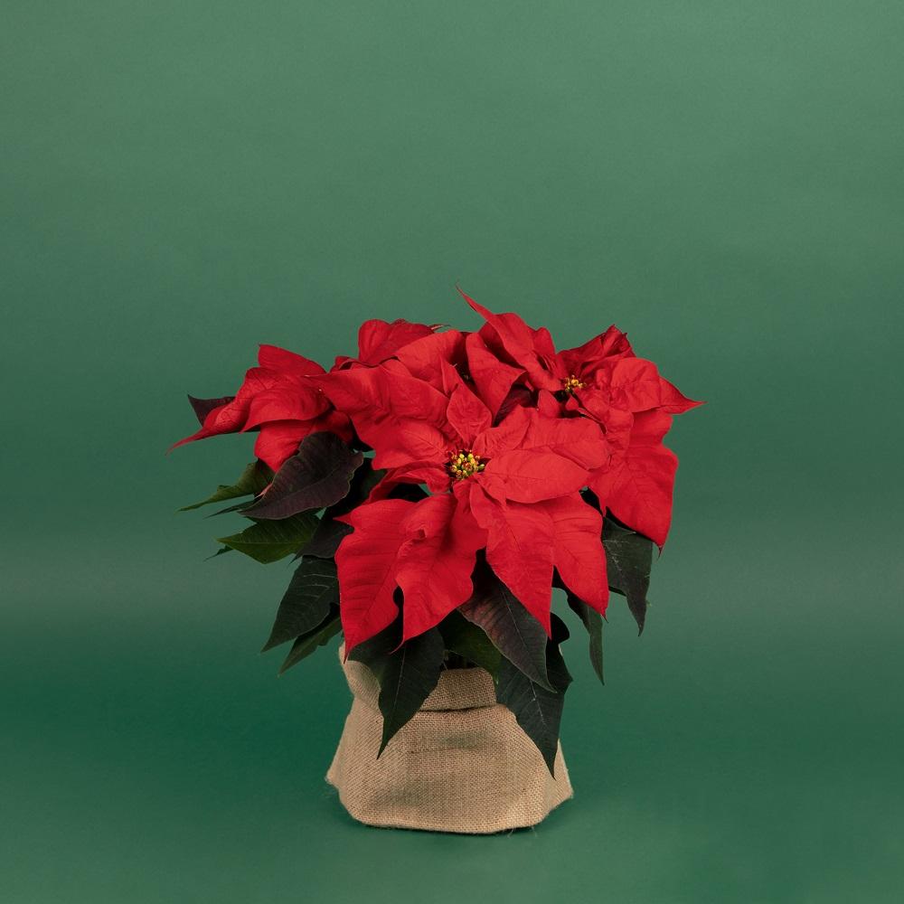 Colección de navidad - Poinsettia