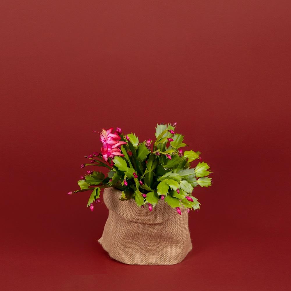 Colección de navidad - cactus de navidad