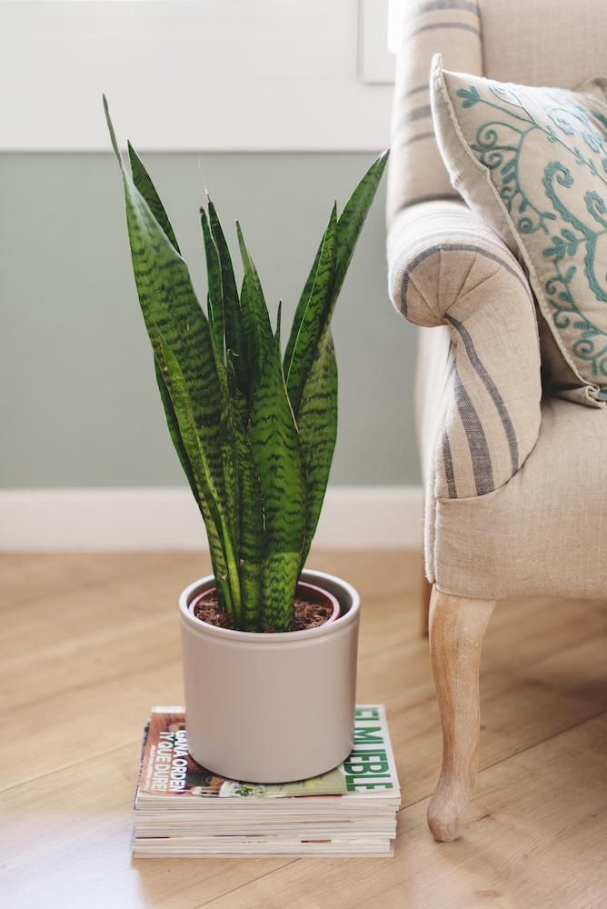 plantas que necesitan poca luz - sansevieria
