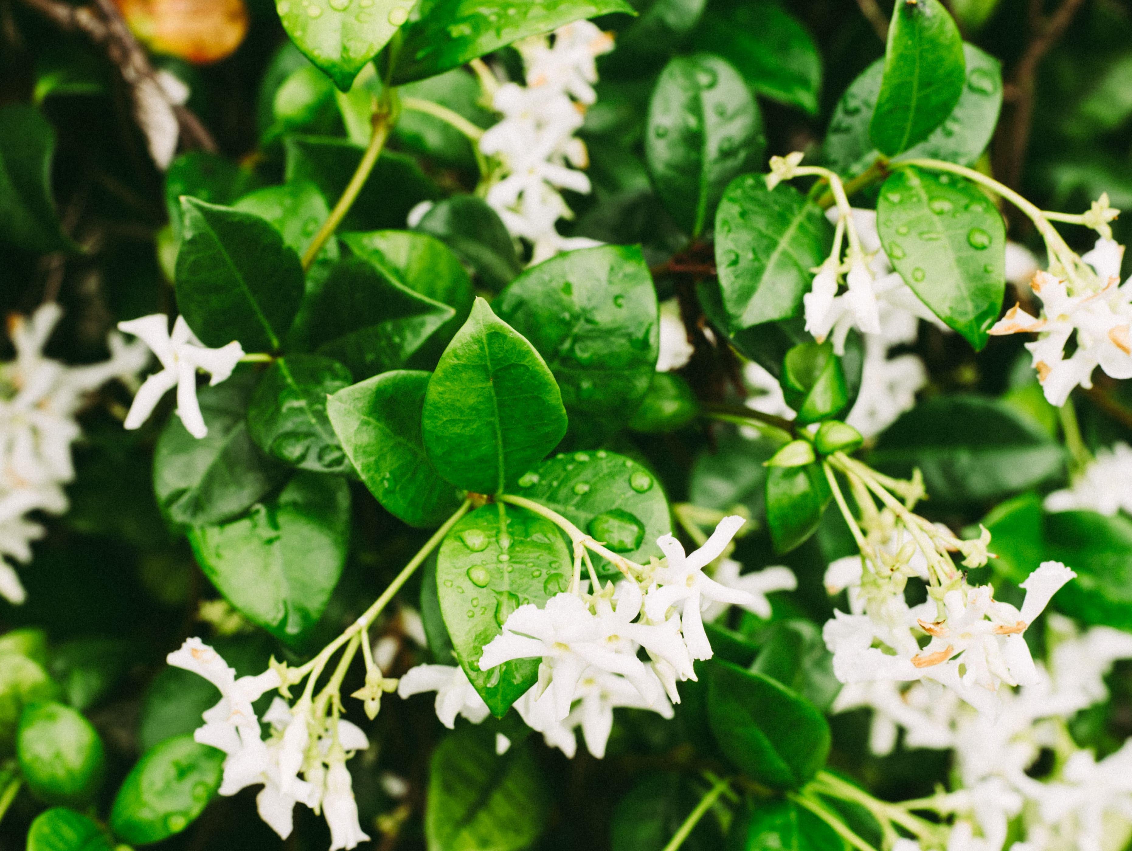 jazmin - plantas resistentes al frio