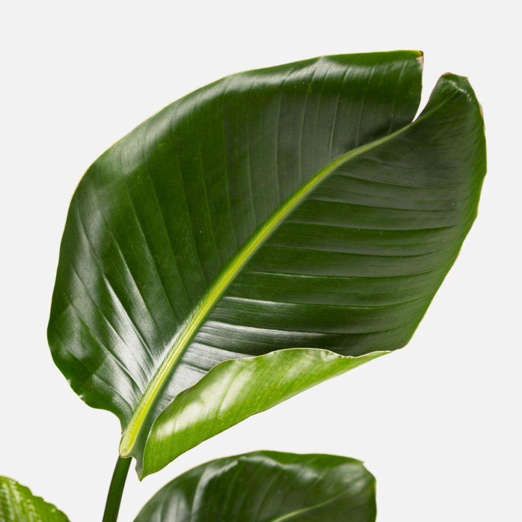 Las plantas grandes o plantas XL han llegado a Colvin. ¡Conócelas!