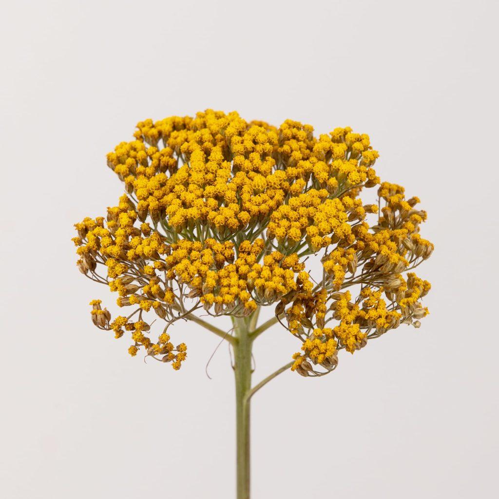 Milenrama o Achillea: propiedades, origen y algunos cotilleos sobre esta preciosa flor