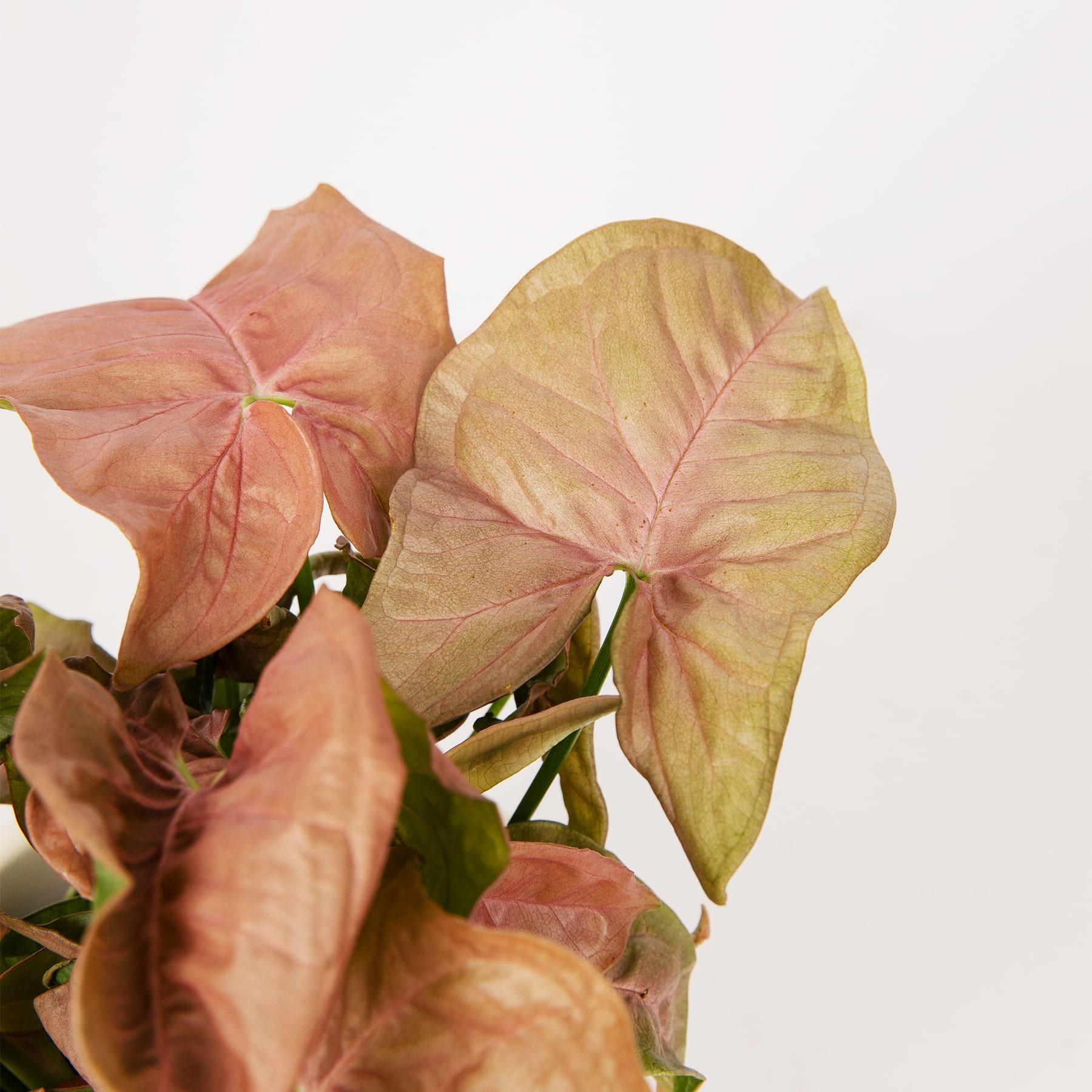 singonio hojas amarillas y marrones