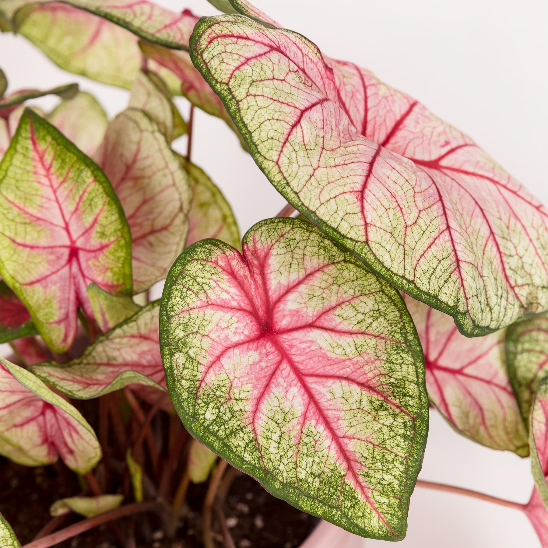 caladium planta