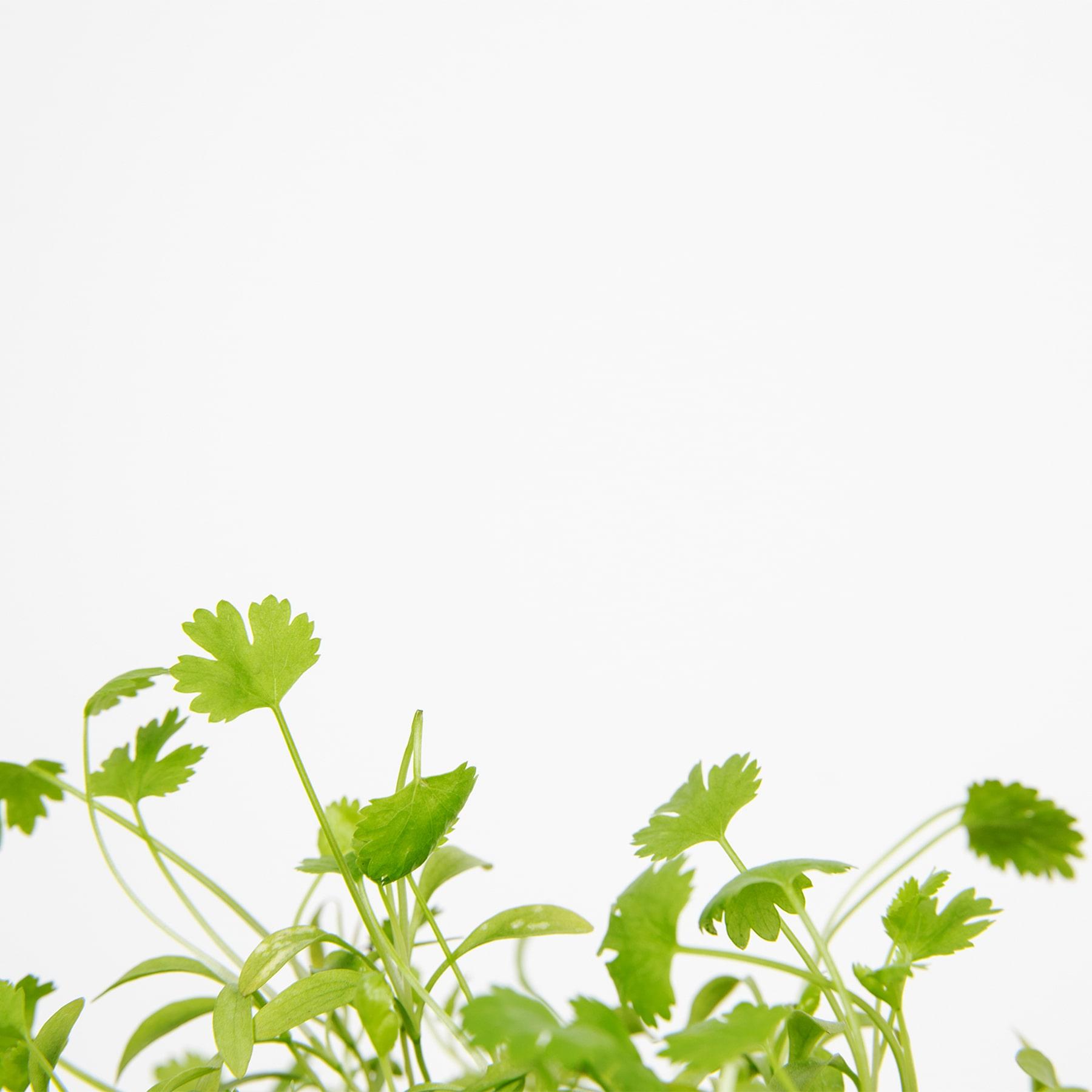cilantro planta