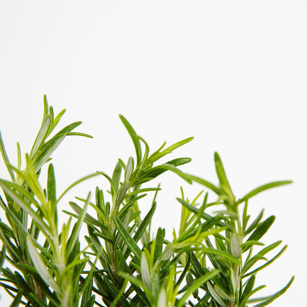 ¿Sabes ya todo lo que necesita tu planta de romero?