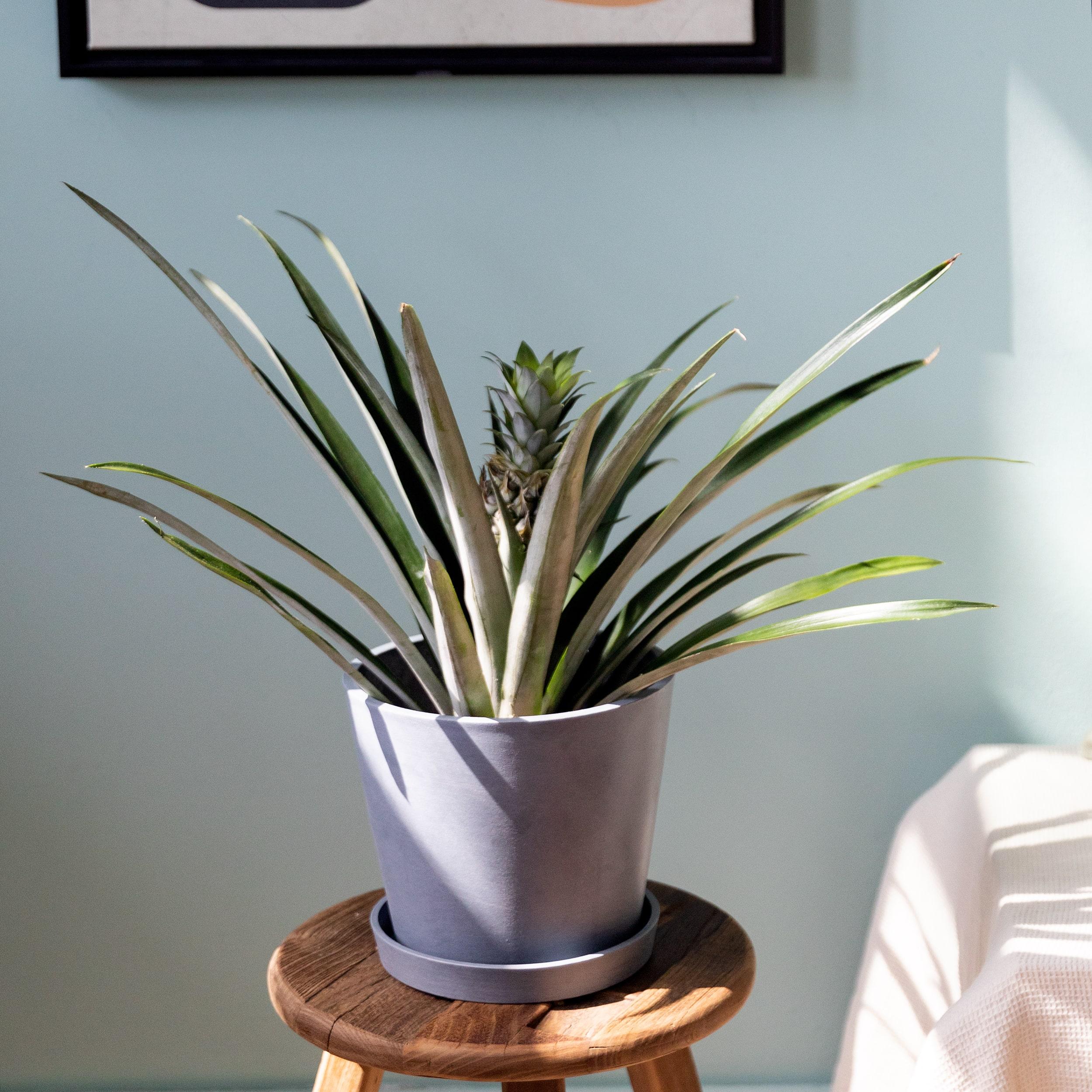 cuidados ananas planta piña