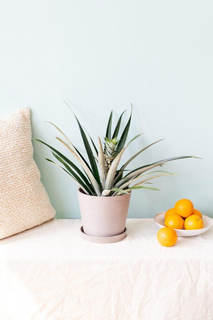 Marchando una de mimos para Big Annie, la planta piña o ananas
