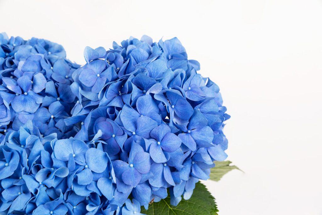 Flores de otro planeta. Conoce la nueva colección de hortensias