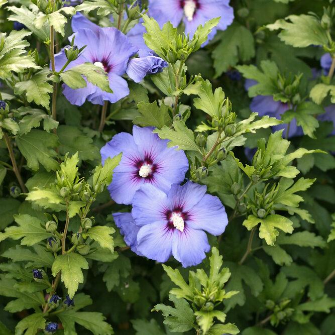 flores azules hibiscus azul