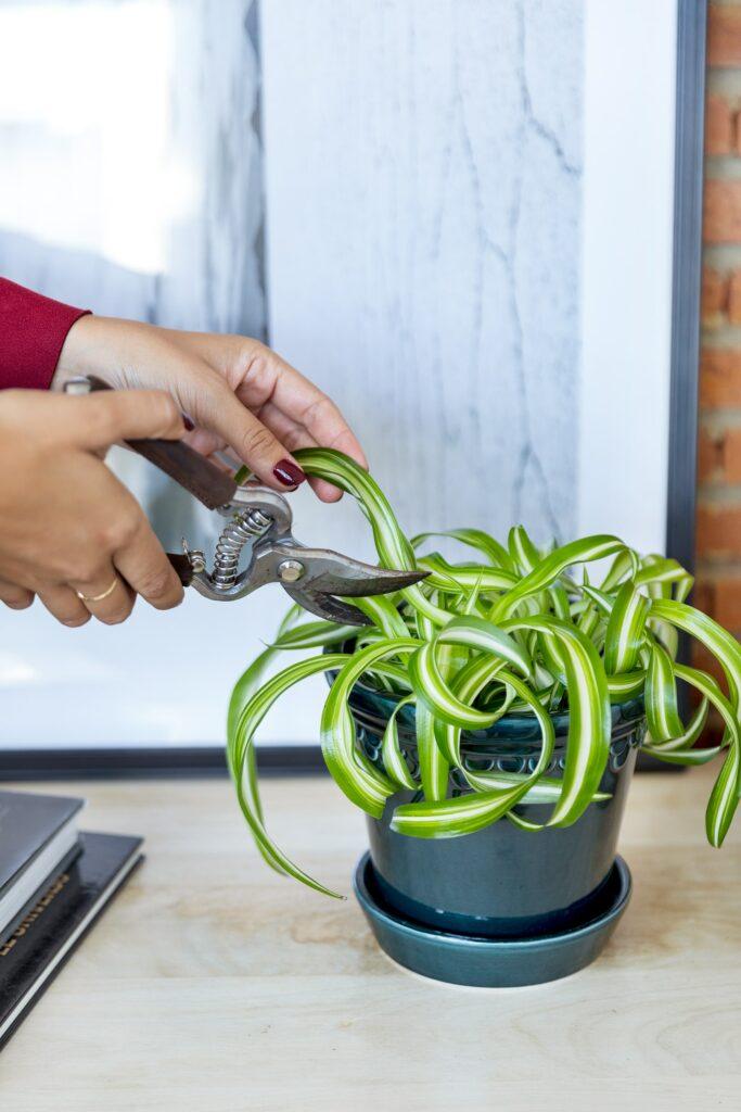 Entérate de todos los cuidados de tu planta Cinta o Malamadre, la más enrollada de Colvin