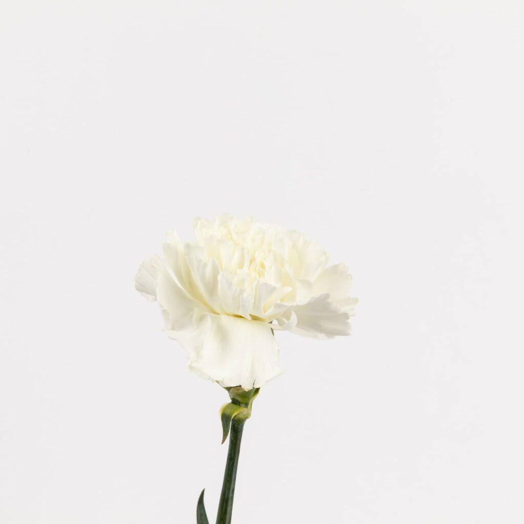 Significado clavel blanco