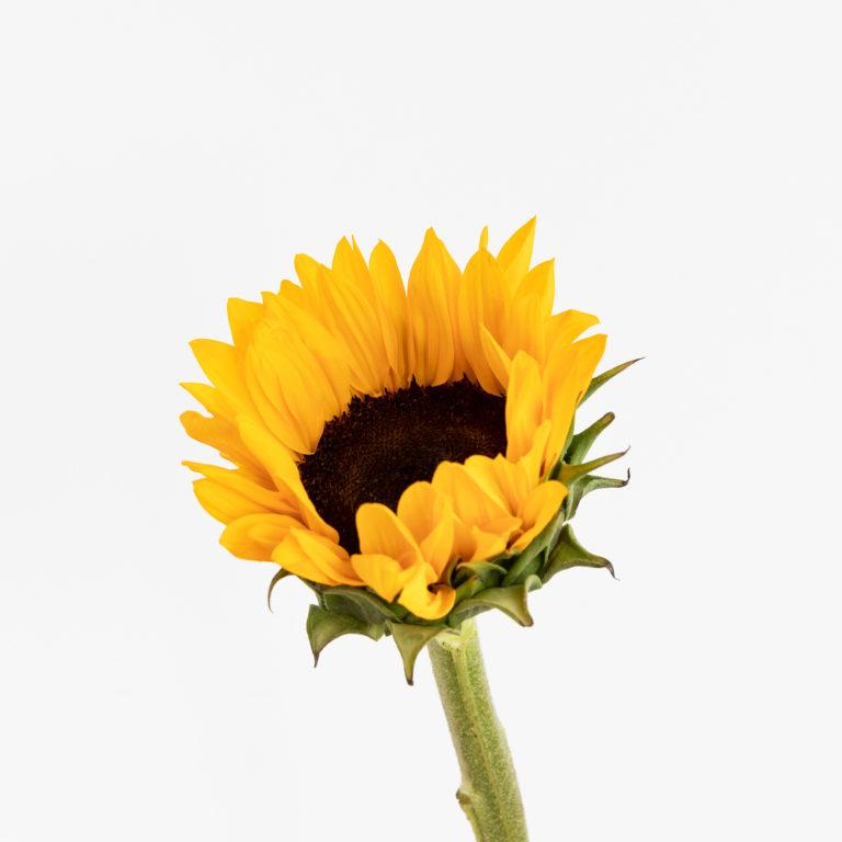 flores para una amiga - girasol