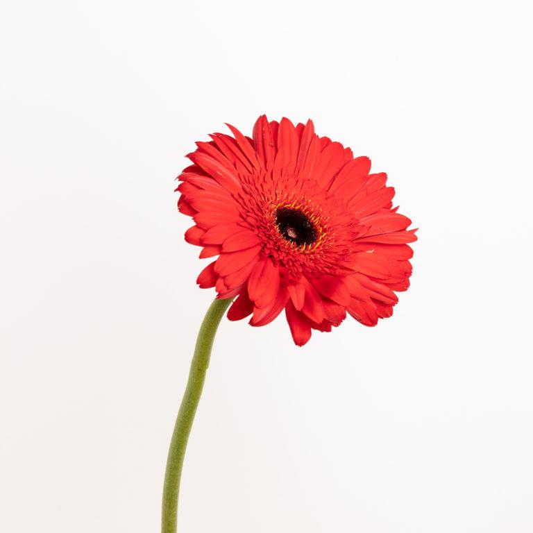 Gerbera roja