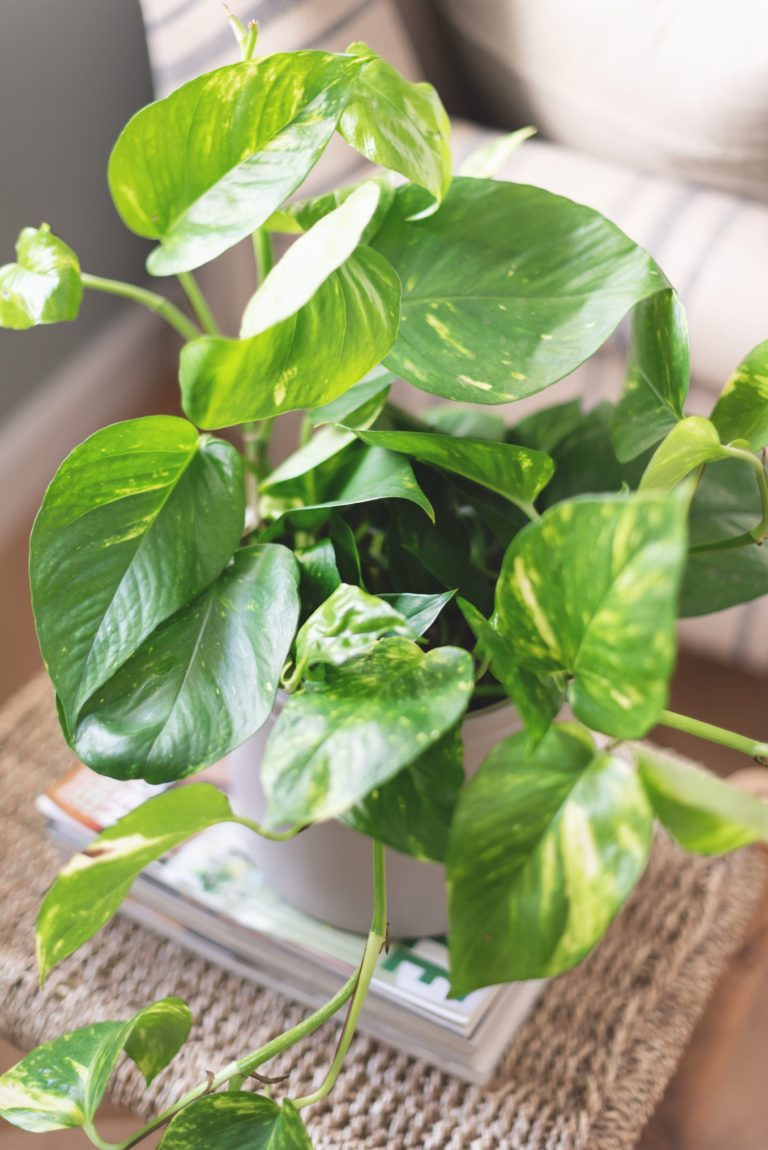 Planta para interiores