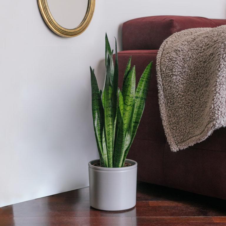 Planta Savannah
