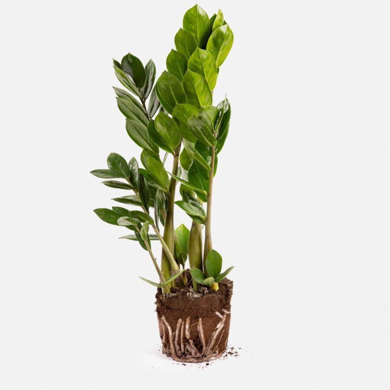 Planta Fiona