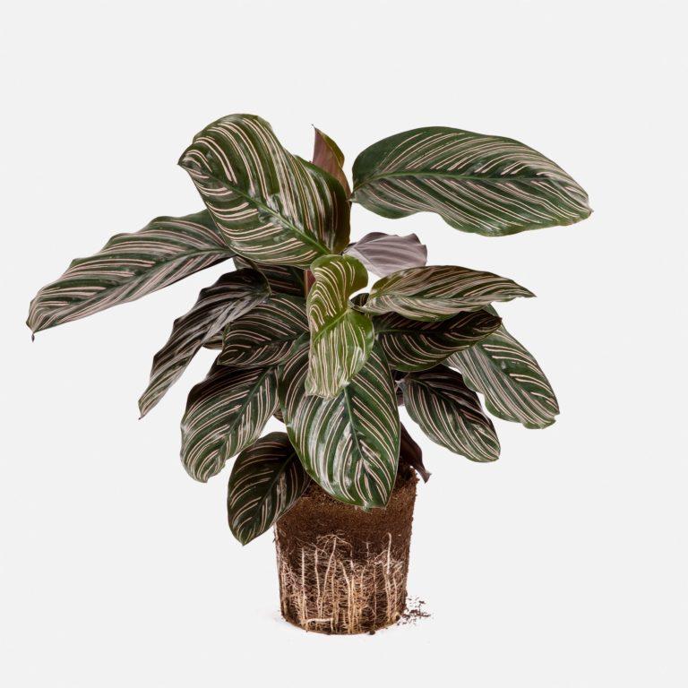 Planta Calathea Lara