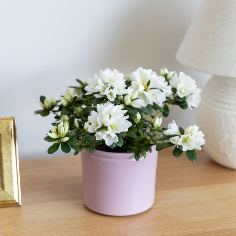 comprar azalea planta dia de la madre