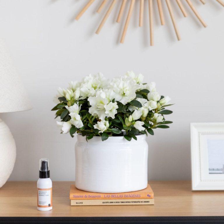 pack azalea planta dia de la madre