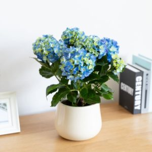 hortensia azul dia de la madre