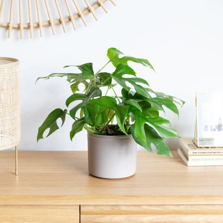 monstera minima planta