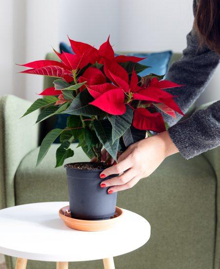 flor de pascua planta