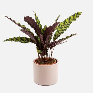 Planta Calathea Amelie