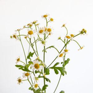 Flores margaritas con hojas y tallo