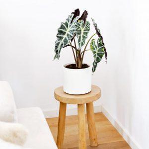 Planta de interior en maseta blanca