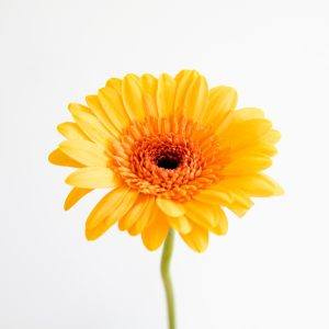 flores naranja - crisantemo