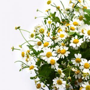 Planta aromática de manzanilla