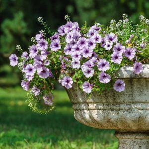 Petunias plantadas en maseta