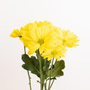 flores amarillas: crisantemo