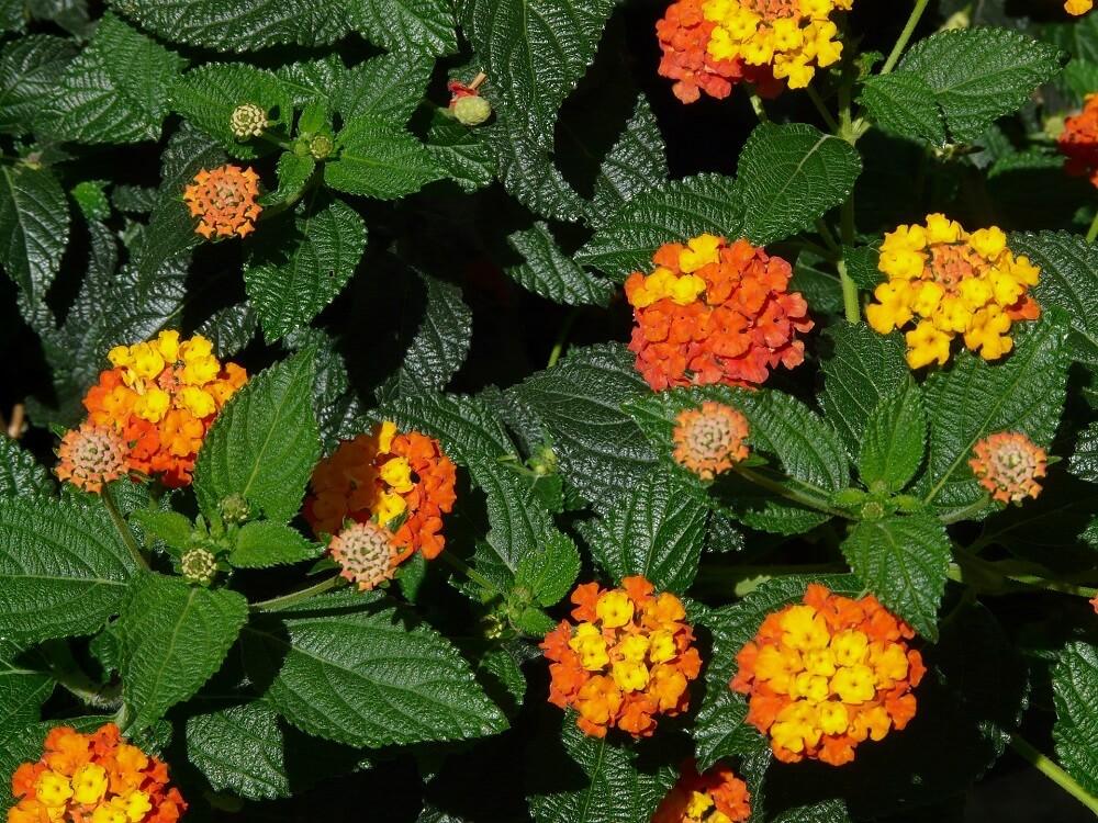 foglie della lantana