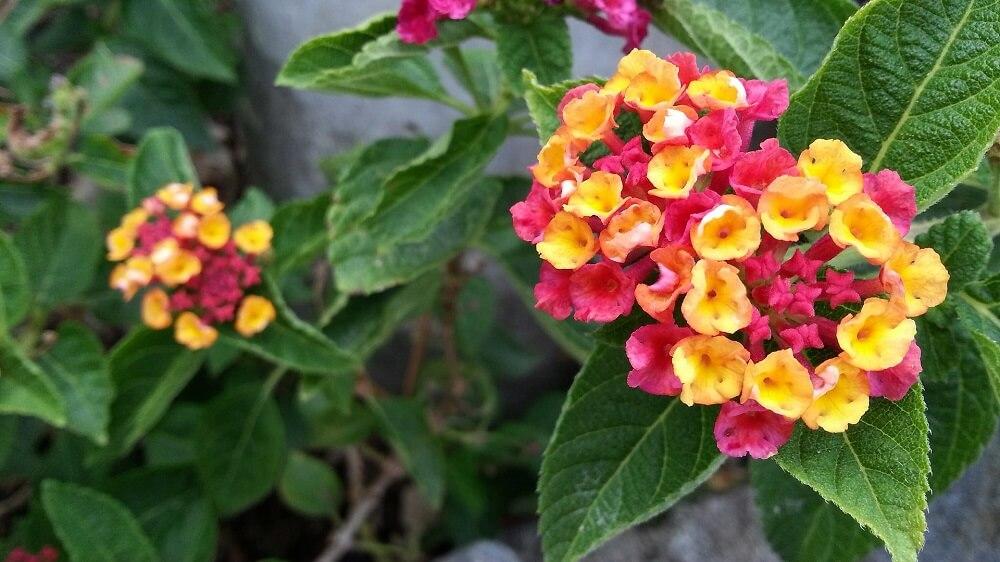La Lantana: una pioggia di fiori variopinti