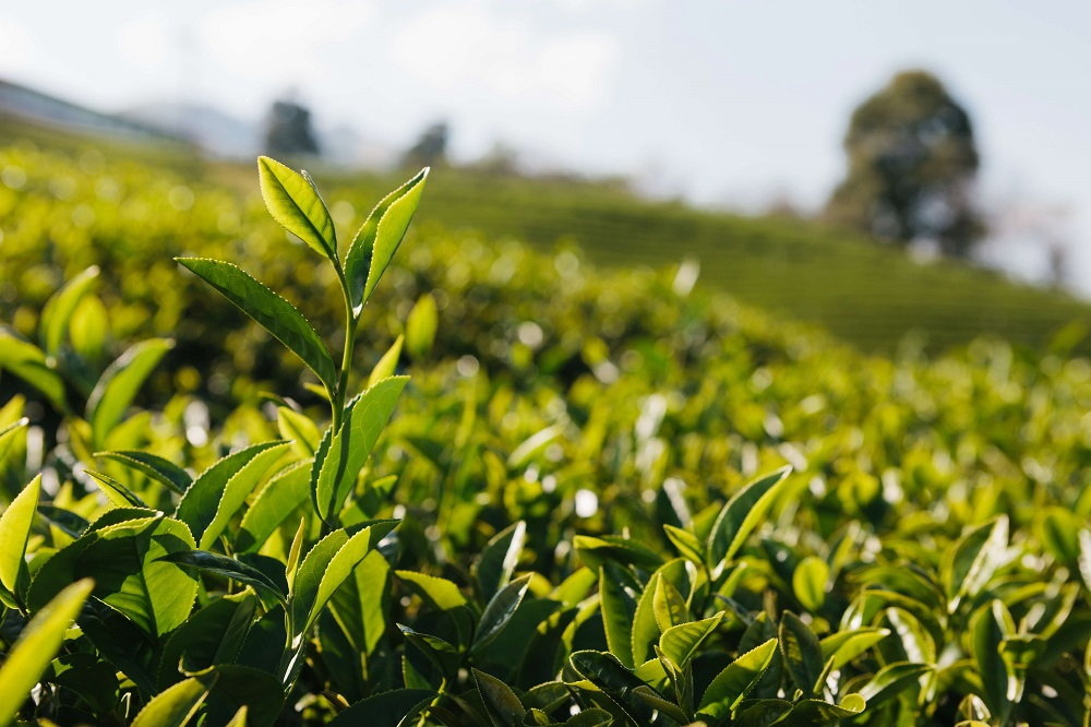 pianta tè verde
