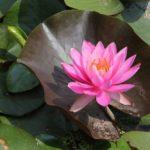 """Il Fiore di loto come simbolo di """"rinascita"""""""