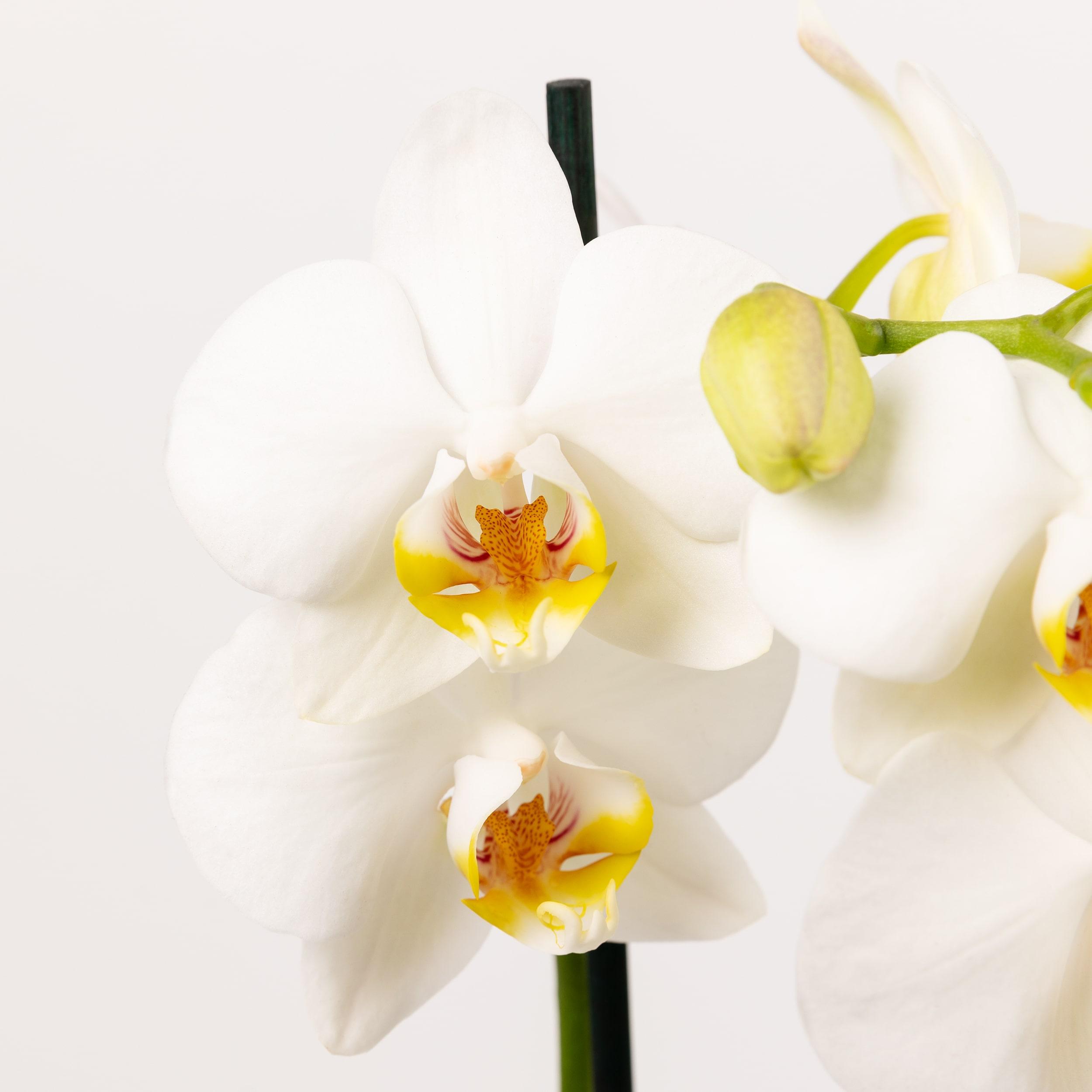 fiori per la festa della mamma orchidee