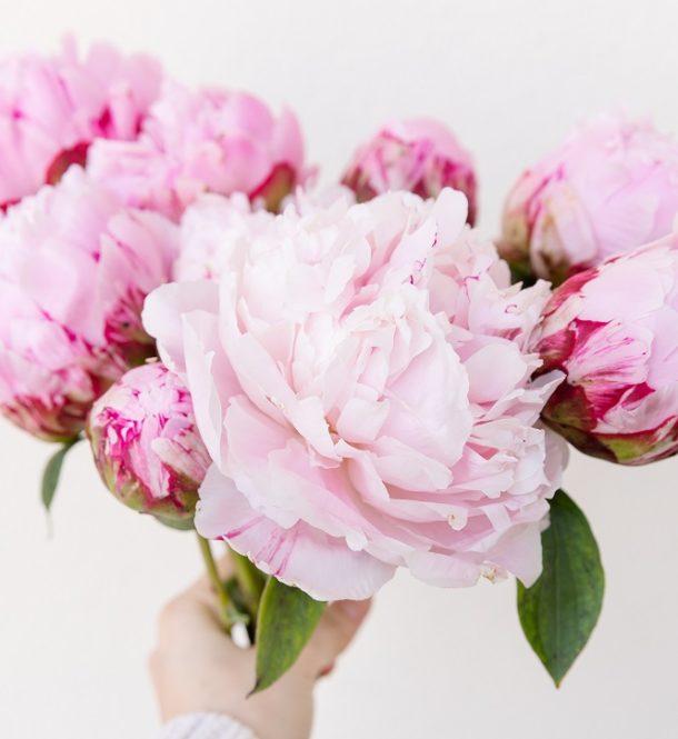 varieta di peonie rosa