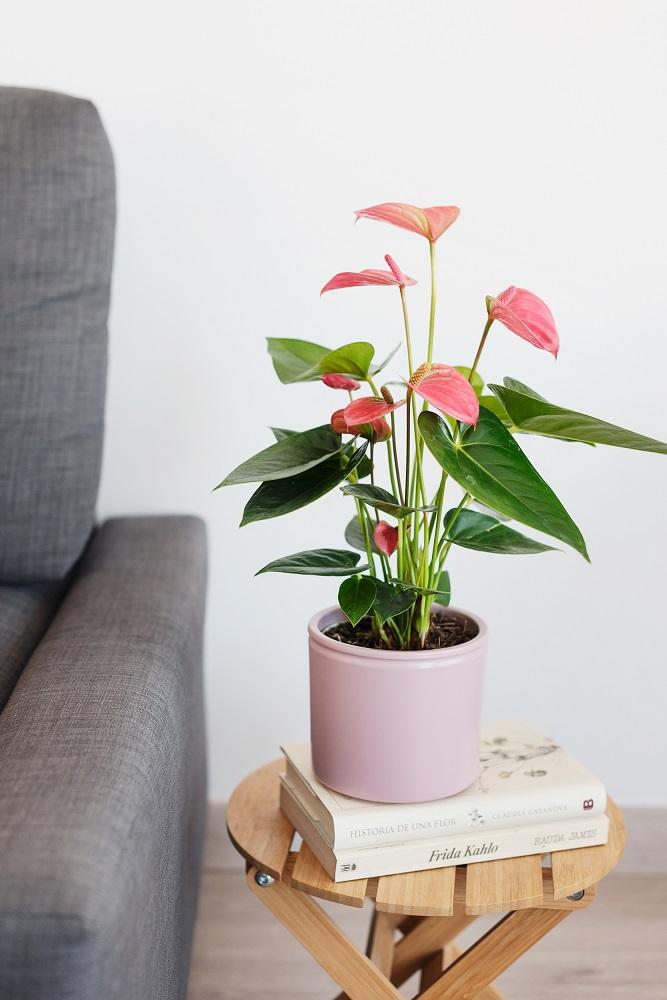 pink october pianta