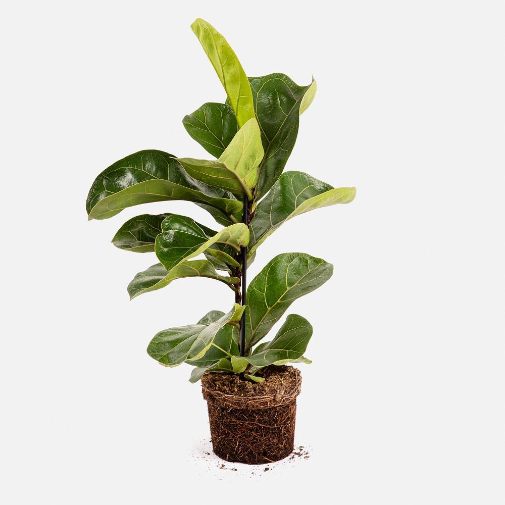 ficus lyrata plant