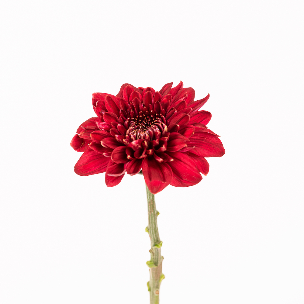 curiosità sui crisantemi
