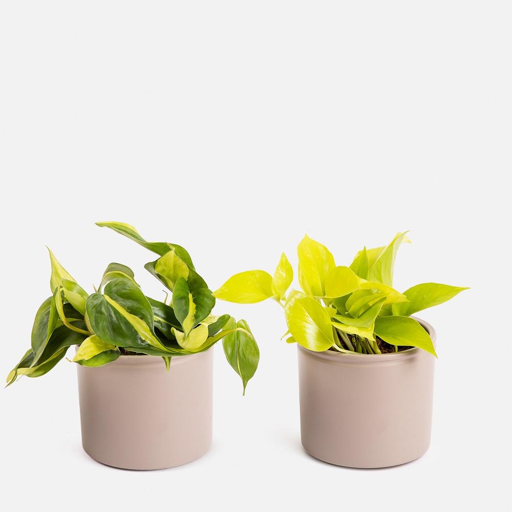 Neon Pothos e Philodendron Brazil - Colvin