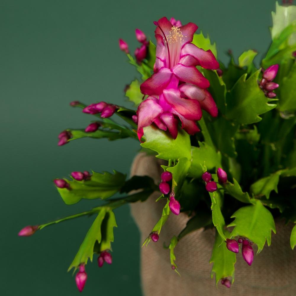 cactus di natale colvin
