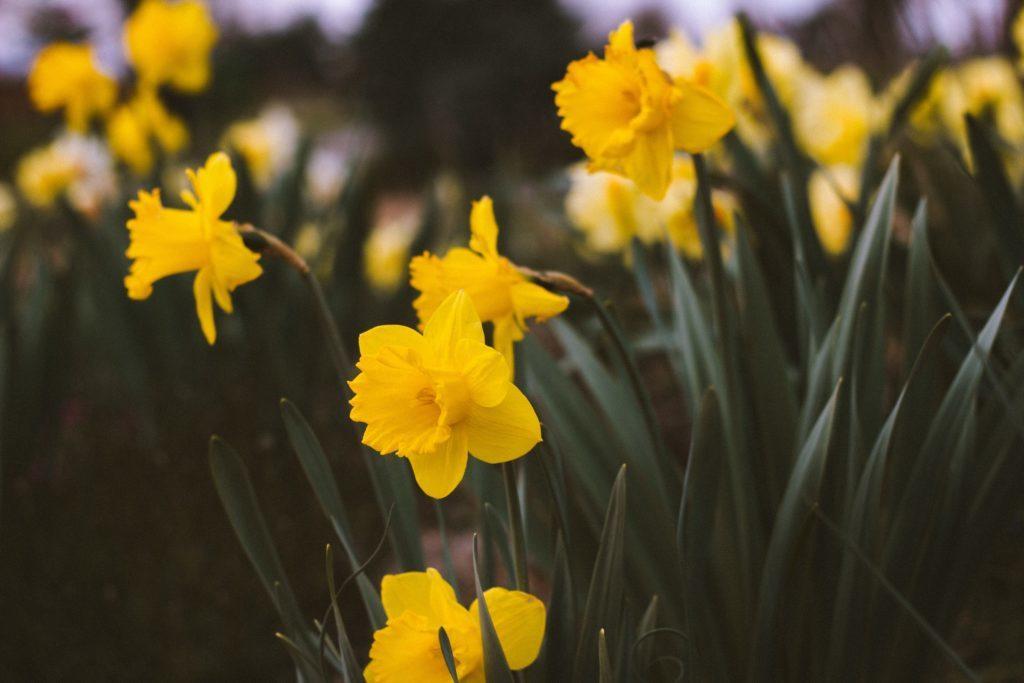 Narciso, il fiore dell'egoismo: leggenda, cura e significato