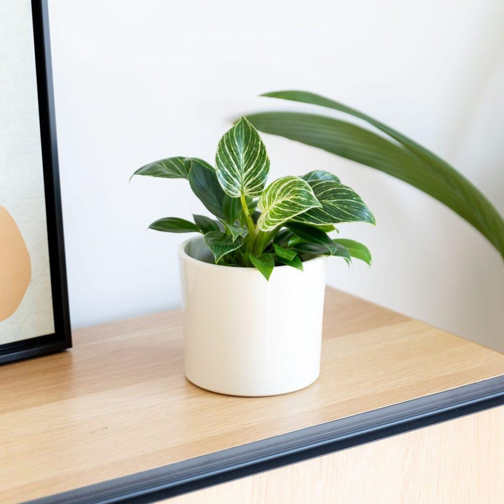 Pianta Philodendron birkin