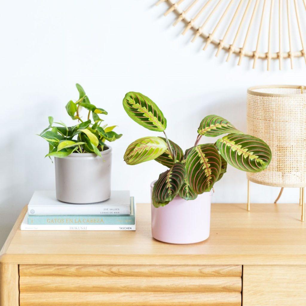 Comprare piante Maranta Leuconeura e Philodendron Brasil